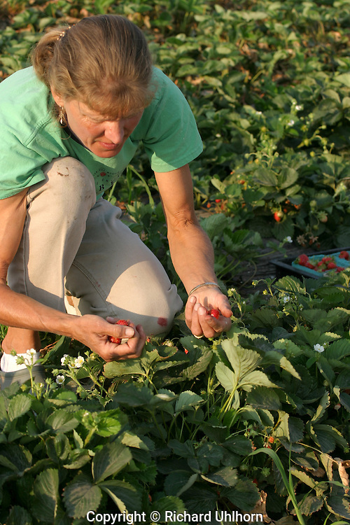 Deanna Frestad, a Sunshine Farms Community Suported Agriculture (CSA) member in Chelan, Washington, USA, picks fresh organic strawberries for sale at the Sunshine Fruit Market. The CSA has 75 paid membes who receive a share of the locally grown produce and fruit at the four acre farm each week during the growing season.