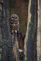 A North Spotted Owl nestling and its mother peer from their nest cavity in an ancient burned snag.
