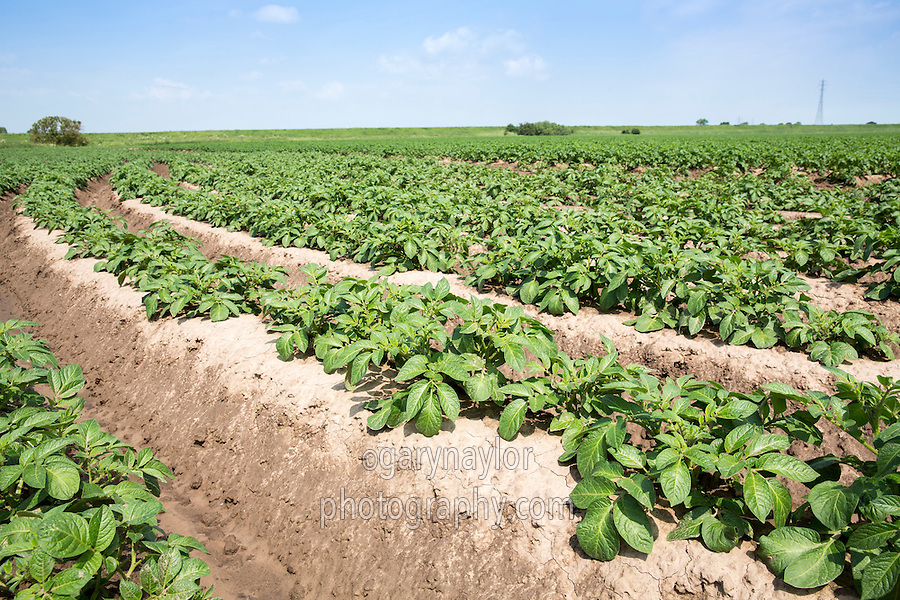 Saphire potatoes - South Lincolnshire, June