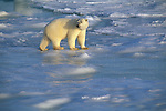 Polar Bear walks on an ice field.