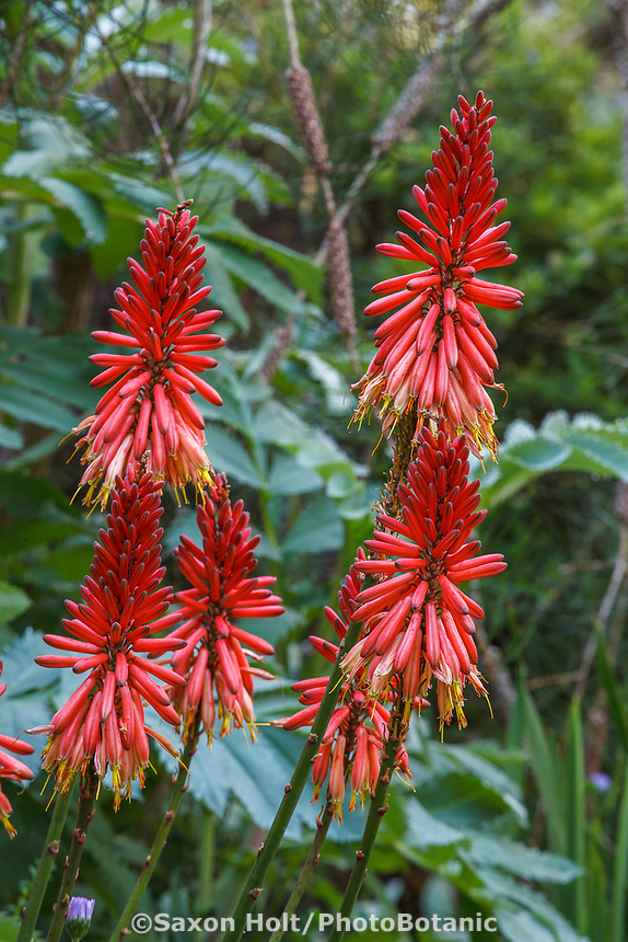 Aloe arborescens red flower Torch Aloe in front of foliage of Honey Bush - Melianthus major in Nan Sterman Garden