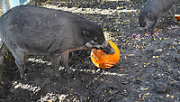 Visayan warty pig (Sus cebifrons ) are seen with Halloween pumpkin zoo keepers feed them as a Halloween treat in Zoo Budapest and Botanical Garden in Budapest, Hungary on October 31, 2019. ATTILA VOLGYI
