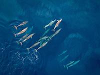 aerial view of spinner dolphin, Stenella longirostris, pod, Maluku Islands, Indonesia, Banda Sea, Pacific Ocean