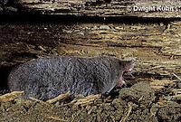 MU19-003z  Short-tailed Shrew - screaming at intruder -  Blarina brevicauda