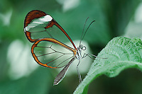 Glass winged butterfly (Cithaerias sp.), adult, captive, Switzerland