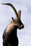 Portrait of male Spanish Ibex. Sierra de Gredos, Avila, Spain.