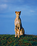 A cheetah surveys its surroundings on the Maasai Mara in Kenya.