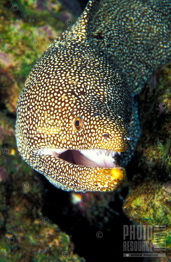 Whitemouth Moray Eel (Gymnothorax melegris). Hawaiian name is Puhi.