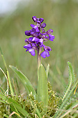 Green-winged Orchid - Orchis morio