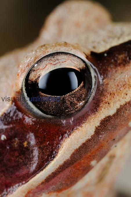 Agile Frog eye (Rana dalmatina), Italy.