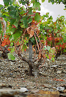 Collioure. Roussillon. Vines trained in Gobelet pruning. Vine leaves. Old, gnarled and twisting vine. Terroir soil. France. Europe. Vineyard. Soil with stones rocks. Schist slate soil.