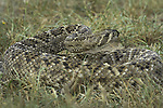 Western Diamondback Rattlesnake found in south Texas