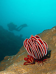 Kenting, Taiwan -- Crinoid (Himerometra robustipinia), aka robust feather star, perched on a coral head with diver in the background.