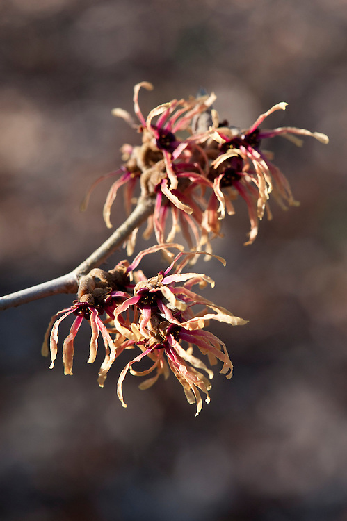 Witch hazel (Hamamelis x intermedia 'Strawberries and Cream'), end January.