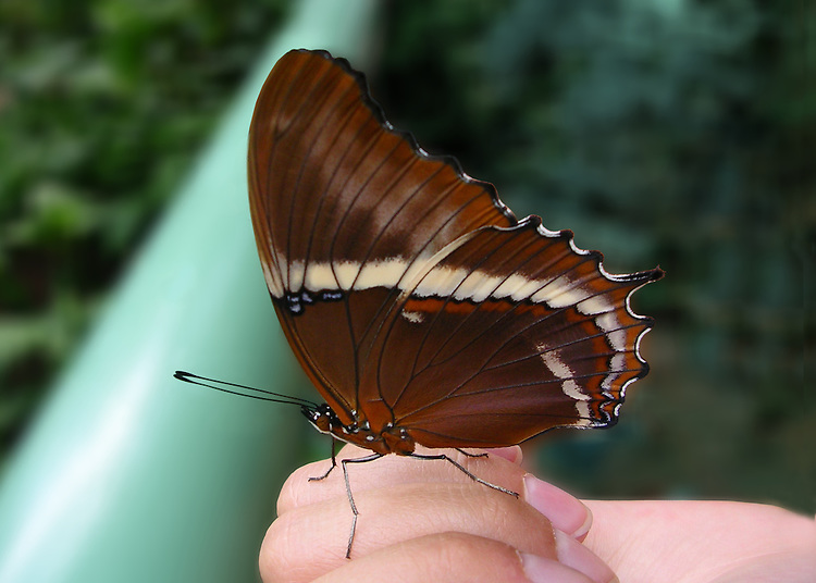 A newly released Rusty-tipped Page, also known as the Brown Siporeta, sits closed winged on a child's hand at the NC Museum of Life and Science against a dark green background.