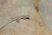 442690007 a wild western side-blotched lizard uta stansburiana elegans perches on a rock along piru creek in northern los angeles county california