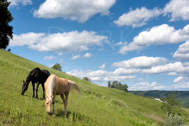 I often see this black and palomino in a high grassy field along this steep knoll, so on a sunny summer day I walked up from the road at the bottom to see them in person. These horses spend their days on a slant, there isn&rsquo;t any level ground to stand on yet they keep a happy grass-munching equilibrium. At first they raised their heads to check me out closely, but went back to swishing flies and working the plentiful grazing. I could then make a string of shots of my &ldquo;captive audience&rdquo; and was happiest with this one.<br />