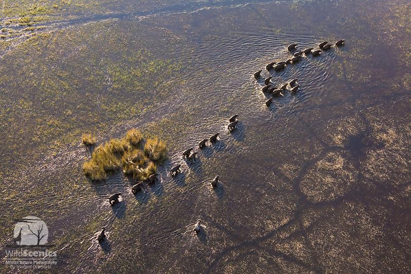 A herd of Buffalo walk across a flooded plain in the Okavango Delta as seen from the air