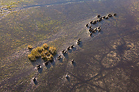 A herd of Buffalo walk across a flooded plain in the Okavango Delta as seen from the air