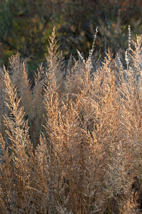 Korean feather reed grass (Calamagrostis brachytricha), early November.