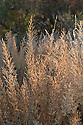 Korean feather reed grass (Calamagrostis brachytricha), early November.