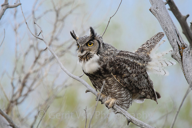 Adult female Great Horned Owl (Bubo virginianus) hooting. Sublette County, Wyoming. May.
