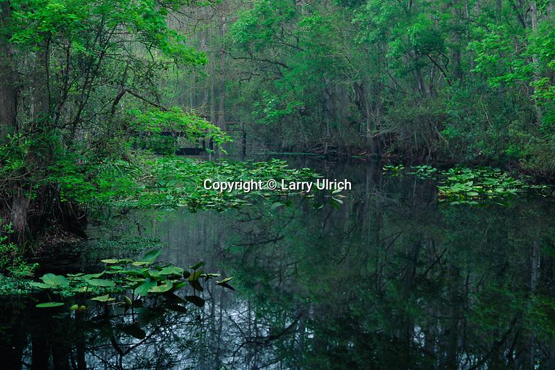Spatterdock and red maples<br />