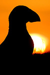 Atlantic Puffin (Fratercula arctica) silhouetted at sunrise, Skomer Island National Nature Reserve, Skomer Island, Pembrokeshire, Wales, United Kingdom
