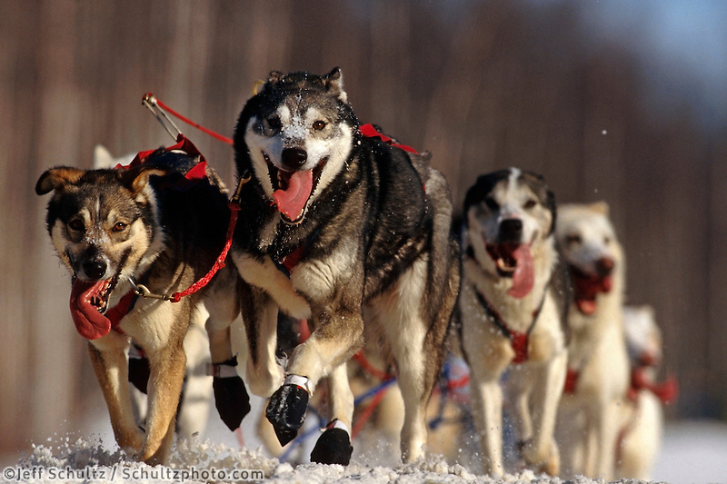 T English's Lead Dogs on Trail Knik Iditarod 99 AK