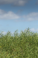 Oilseed rape <br /> ©Tim Scrivener Photographer 07850 303986<br />      ....Covering Agriculture In The UK....