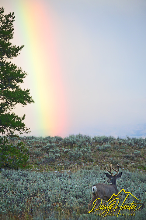 Bull Elk, Rainbow, Grand Teton National Park