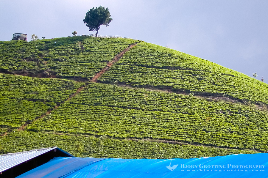 Indonesia, Java, Puncak. Green hills covered with tea plants in the Puncak Pass.