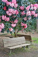 Blooming rhododendron and benches. Crystal Springs Rhododendron Garden. Oregon