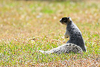 A fox squirrel on the ground during the second round of the Augusta National Womans Amateur 2019, Champions Retreat, Augusta, Georgia, USA. 04/04/2019.<br /> Picture Fran Caffrey / Golffile.ie<br /> <br /> All photo usage must carry mandatory copyright credit (&copy; Golffile | Fran Caffrey)