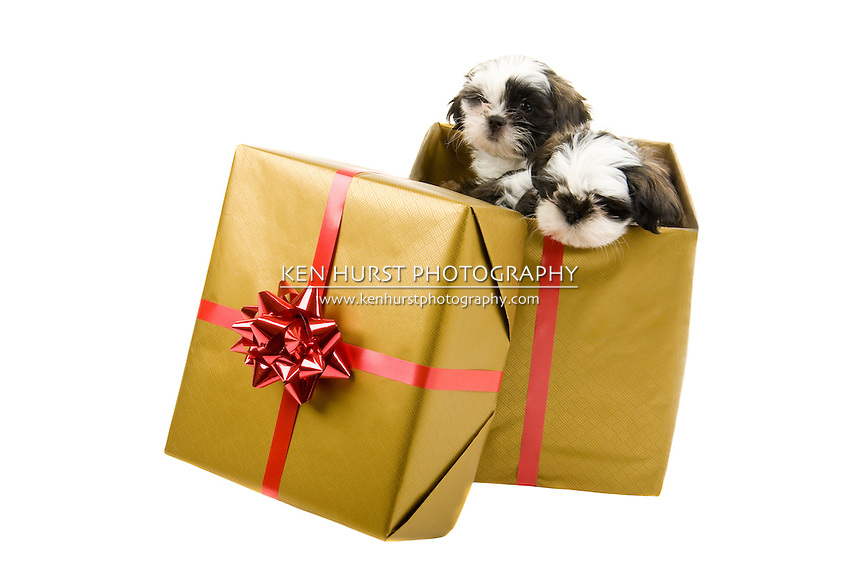 Two adorable Shih Tzu puppies are looking out of a box wrapped as a Christmas present with gold paper and a red bow and ribbon.