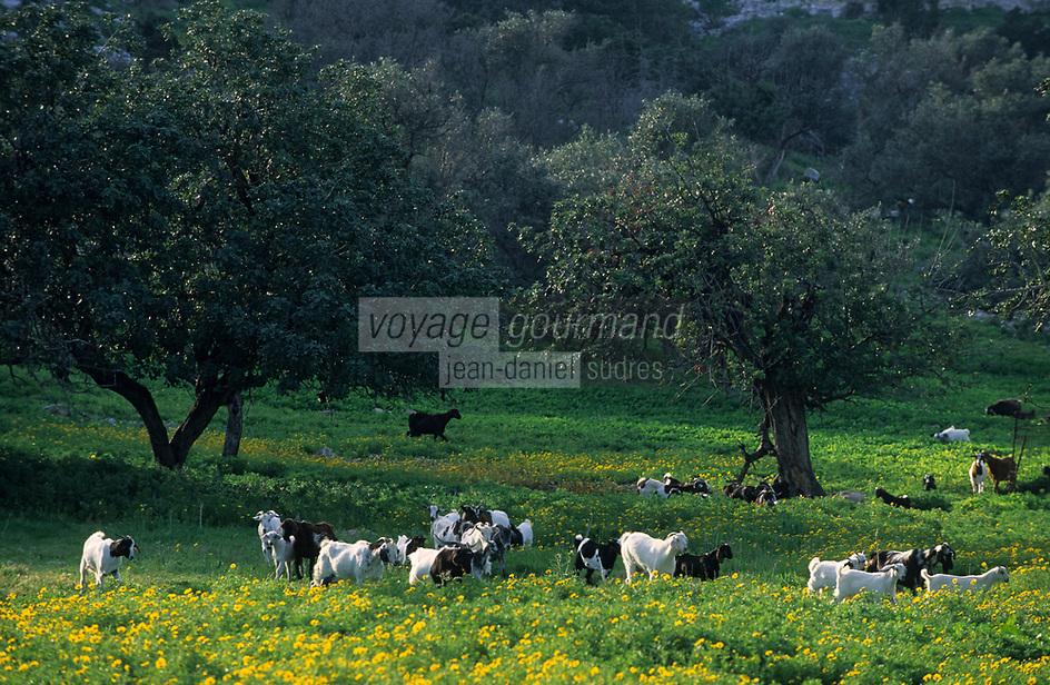 Europe/Chypre/Env de Polis : Troupeau de chèvre descendant de la montagne