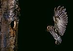 Flammulated owl flying into nest, Washington