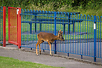 "© Joel Goodman - 07973 332324 . Stockport , UK . The deer rubs its head against the playground railings . A wild deer which was discovered in a park by the busy Manchester Road in Stockport has been rescued after three days . The park was closed and locked by Stockport Council officials on Monday 24th June after the young male started bolting across the playing field and playground and butting its head and antlers against railings . But with the gates locked , the young animal could not escape . For three days local people came out to watch the deer from the fence as it hid in bushes around the edge of the park , occasionally venturing out across the playing pitch and in the direction of the busy A626 road . The landlord at "" The Hind's Head "" pub opposite , Stuart Kirkham , a Manchester United fan , named the beast "" Ronaldo "" because of its red colouring . After three days , with no hope of escape under its own steam and with the park still closed , the RSPCA and council brought in a veterinary surgeon to help . The animal was tranquilised and driven to nearby Reddish Vale Country Park , where he was brought round and released back in to the wild . Photo credit : Joel Goodman"
