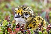 Pacific Golden-Plover (Pluvialis fulva) chick. Russia. June.