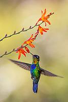 A fiery-throated hummingbird seeks nectar.