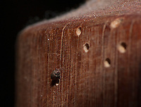 Woodworm beetle with holes and burrows on pine furniture, Lancashire.