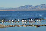 White pelicans at the Salton Sea