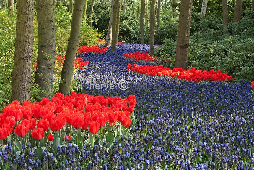 Hollande, région des champs de fleurs, Lisse, Keukenhof, rivière de Muscari  latifolia