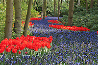 "Hollande, région des champs de fleurs, Lisse, Keukenhof, rivière de Muscari latifolia bordée de tulipes rouges 'Rob Verlinden' (Tulipa greigii 'Rob Verlinden') // Holland, ""Dune and Bulb Region"" in April, Lisse, Keukenhof, river of Muscari latifolia or Grape Hyacinth surrounded by tulips 'Rob Verlinden' (Tulipa greigii 'Rob Verlinden')."