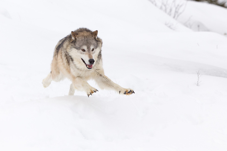 Tundra Wolf running down a snowy hill - CA