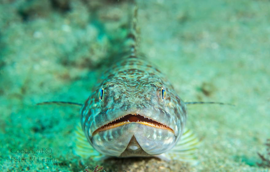 Close up of a Sand Diver