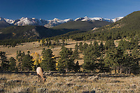 Elk, Wapiti, Cervus elaphus, bull with aspentrees in fallcolors and rocky mountains, Rocky Mountain National Park, Colorado, USA
