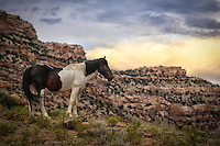 Wild Paint - Stallion - Colorado<br />