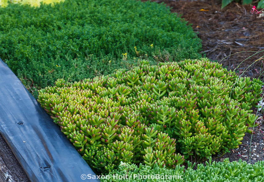 Succulents to touch, Pork and Beans (Sedum rubrotinctum) in therapeutic tactile garden for easy access with Community Garden of Healdsburg Senior Living Center, California