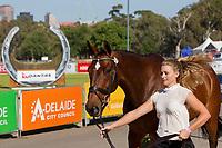 AUS-Sophie Adams (MERCATOR DU RY) 2012 AUS-HSBC Adelaide International 3 Day Event: FIRST HORSE INSPECTION-CCI**